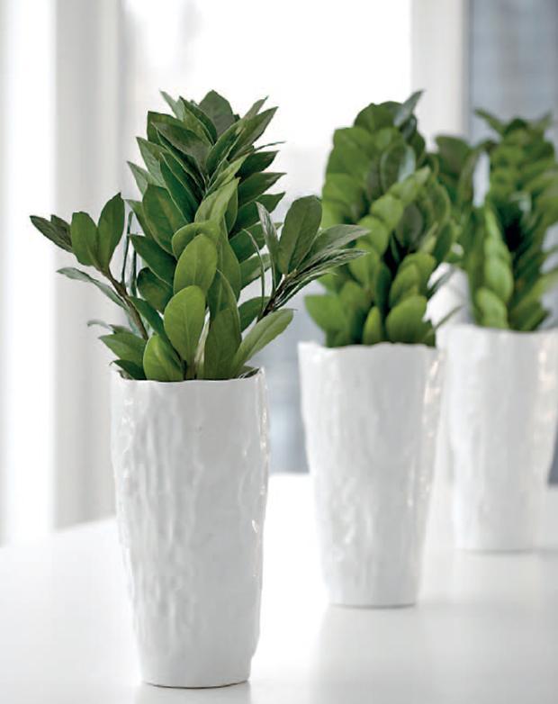 Zamioculcas zamiifolia for Pianta zamioculcas