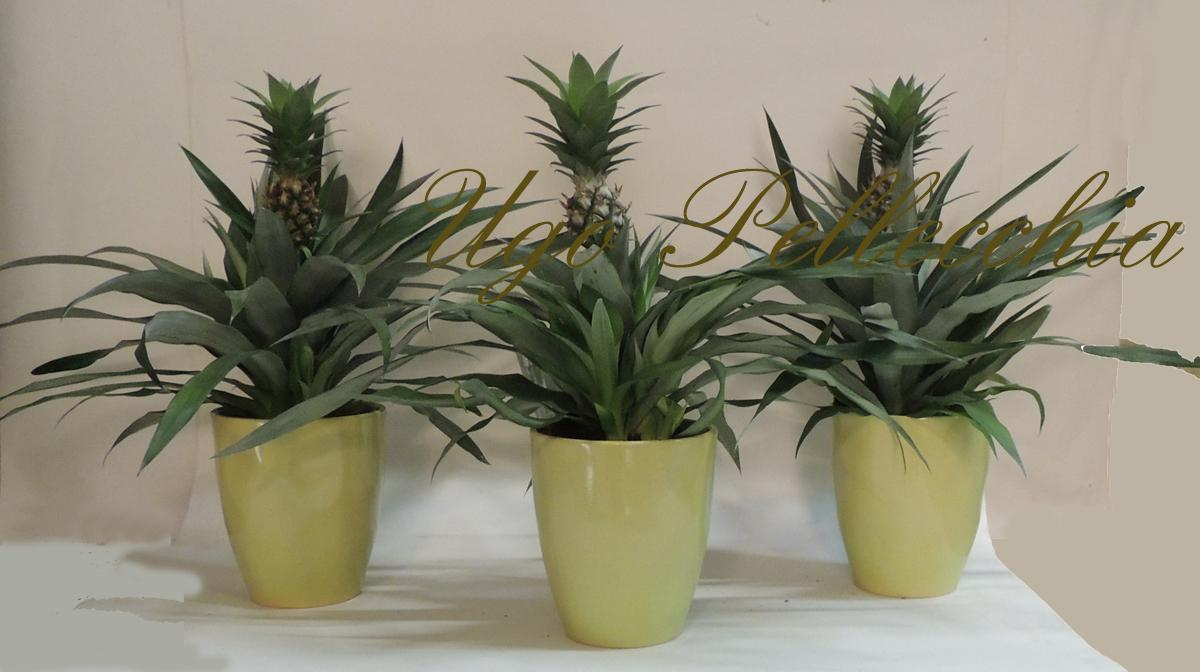Piante pianta di ananas for Pianta ananas