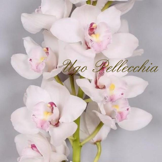 cymbidium-white_1400x